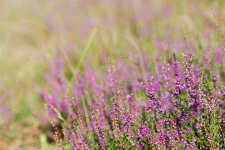 Beautiful heather flowers. Shallow depth of field. Soft focus. Reklamní fotografie