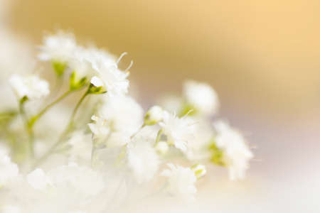 White flowers on blurred background. Soft focus. Holiday decoration concept.
