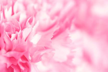 Blurred pink carnation flower. Фото со стока