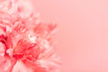 Pink carnation flower on light pink