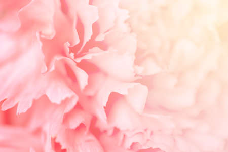Blurred pink carnation flower. Abstract natural background. Selective focus.