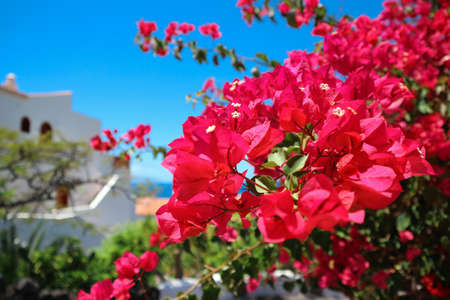 Blooming bougainvillea flowers with white house, blue sky and sea on background in Tenerife, Spain.