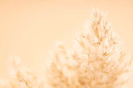 Beautiful dry Pampas plumes flowers on beige background. Selective focus, blurred background.