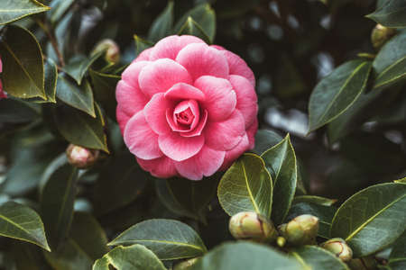 Beautiful pink camellia in a spring garden.