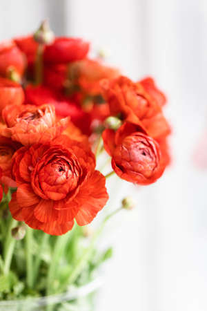 Front view of red persian buttercups in a glass vase on white background. Ranunculus asiaticus.
