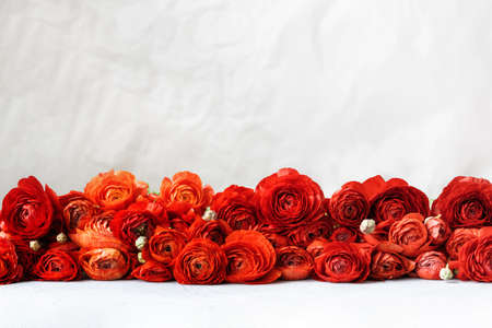 Red persian buttercup flowers on light gray background. Ranunculus asiaticus.