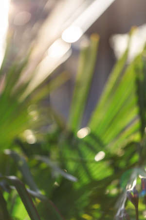 Abstract blurred background of palm tree leaves.