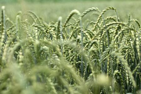 field of corn, spelt, crop