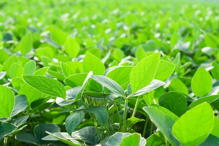 soya bean plant: Soybean field Stock Photo