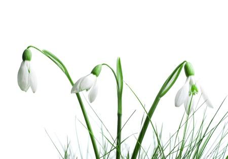 snowdrop: snowdrop in grass