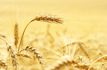 golden wheat field Stock Photo - 10677461
