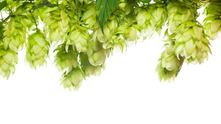 beer production: green fresh hop border isolated on white