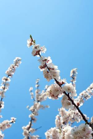apricot branch with flowers photo