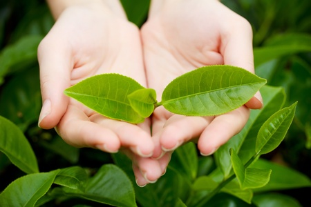 Fresh tea leaves in hands over tea bush on plantation photo