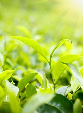 boh: Green tea leaves on plantation at Ceylon