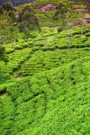 ceylon: Tea plantation at Ceylon