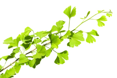 Ginkgo biloba branch isolated on white  photo