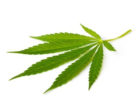hoja marihuana: El cannabis de la hoja Foto de archivo