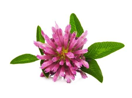blossom honey: clover flower isolated on white Stock Photo