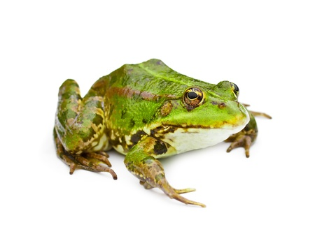green water frog isolated on white photo
