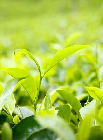 boh: Tea leaf on plantation