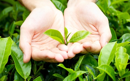 forest tea: Fresh tea leaves in hands over tea bush on plantation Stock Photo