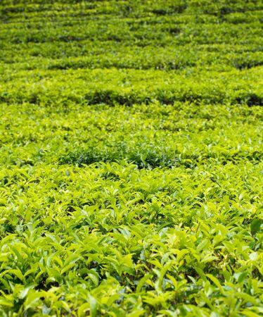 boh: Tea plantation Stock Photo