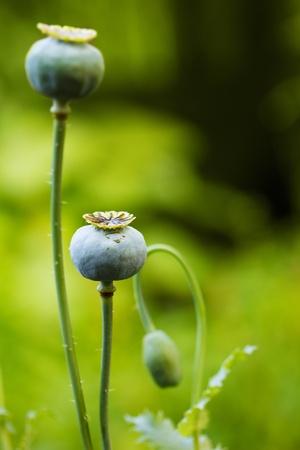 opiate: opium poppy heads Stock Photo
