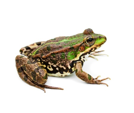 exotic frog: green water frog isolated on white