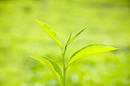 boh: Fresh green tea leaf