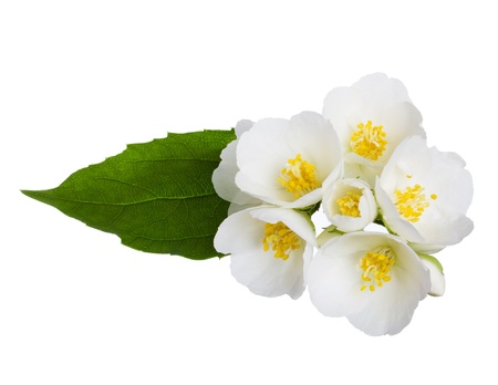 Jasmine flowers isolated on white photo