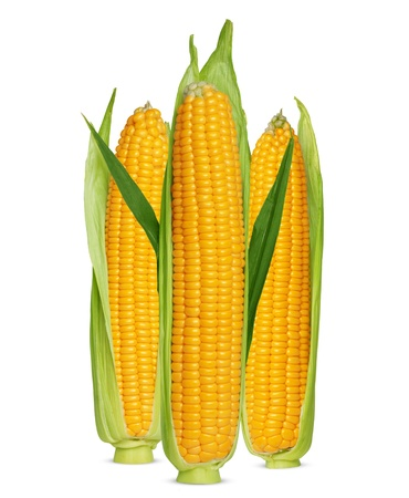 Corn ear isolated on white photo
