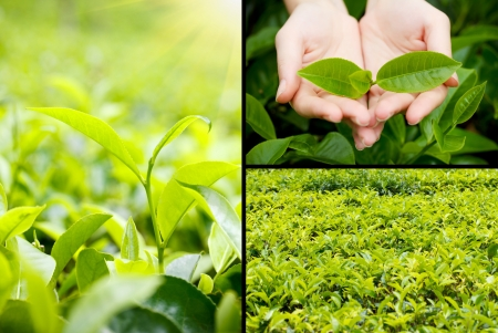 high tea: Beautiful tea plantation collage