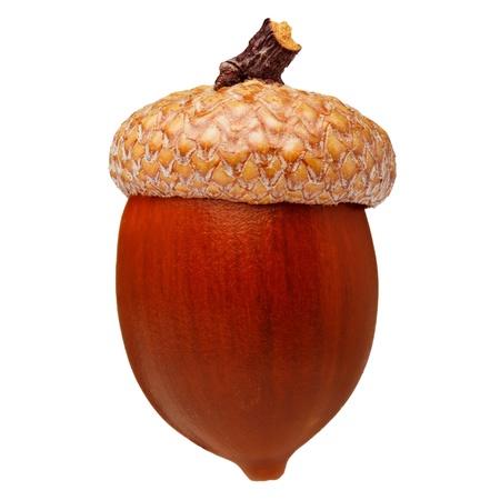 acorn nuts: Red oak acorn isolated Stock Photo