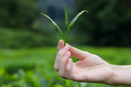 hojas de te: T� fresco deja en los dedos sobre los arbustos de t� en las plantaciones