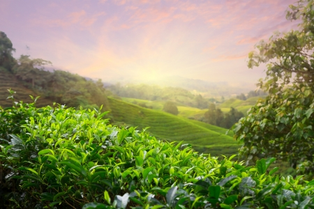 boh: Tea plantation at Cameron Highlands, Malaysia