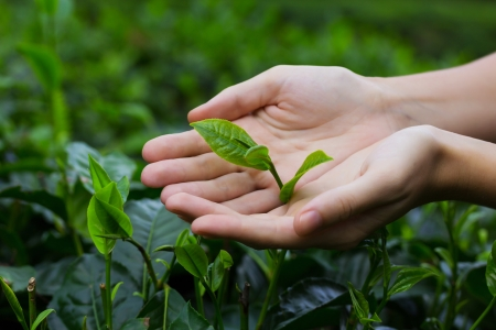 Fresh tea leaves in hands over tea bush on plantation Stock Photo