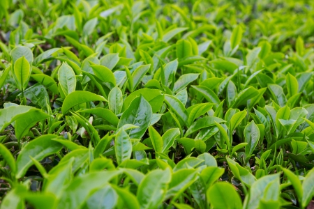 boh: Fresh young tea leafs on plantation