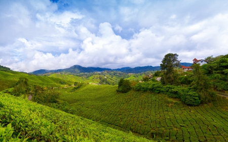 cameron: Mountain tea plantation at Cameron Highlands, Malaysia