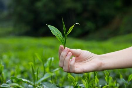 darjeeling: Fresh tea leaves in fingers over tea bushes on plantation