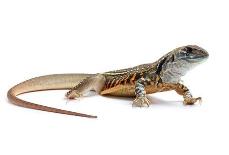 the reptile: Butterfly Agama Lizard Stock Photo