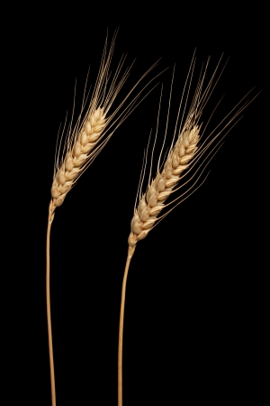 Wheat ears isolated on black photo