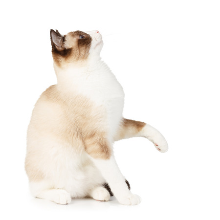 Snowshoe cat with a raised paw isolated on white photo