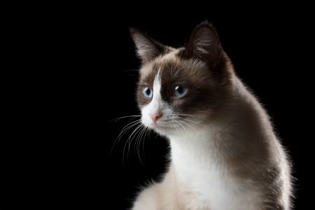 Snowshoe cat portrait, isolated on black photo