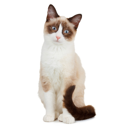 Snowshoe cat, isolated on white photo