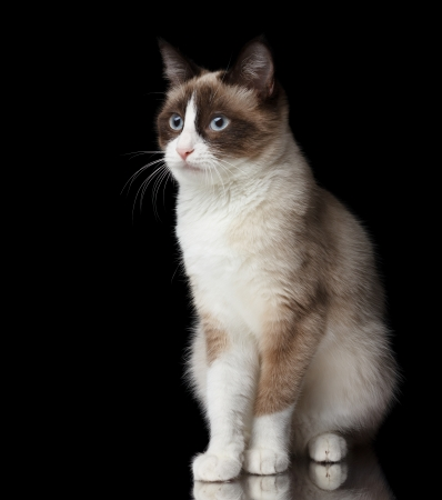 Snowshoe cat, isolated on black background with reflection photo