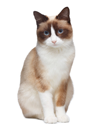 Snowshoe cat, isolated on white background photo