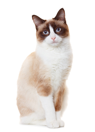 Snowshoe cat photo