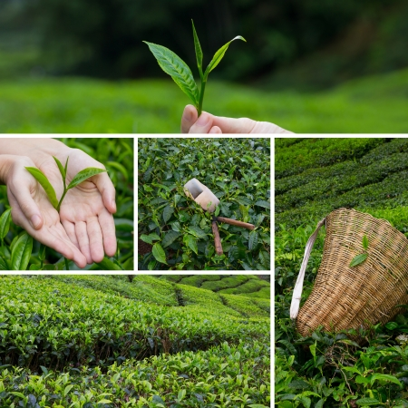 Beautiful collage of tea bushes on plantation and hand harversting Imagens