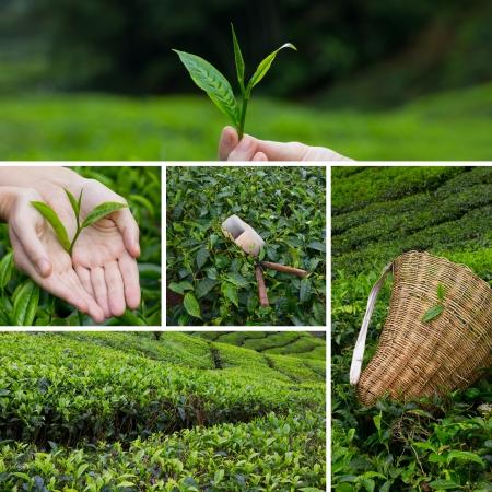 Krásný koláž z čajových keřů na plantáži a ruční harversting